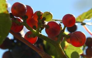 Der verlorene Wein von Lesbos